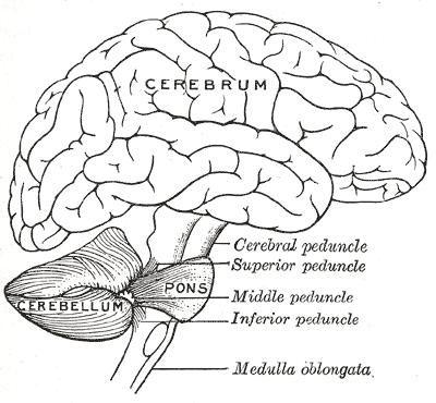 ILLUSTRATION : Parties antérieures du système nerveux central (Source : Bibnum)